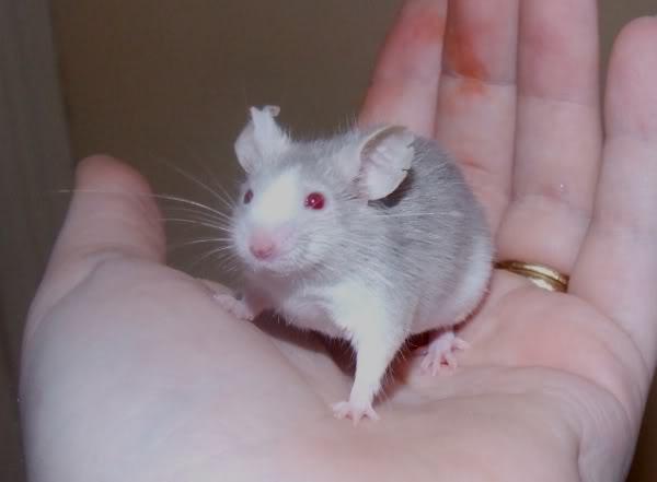 Lots of mice needing homes - Surrey 210309patrick