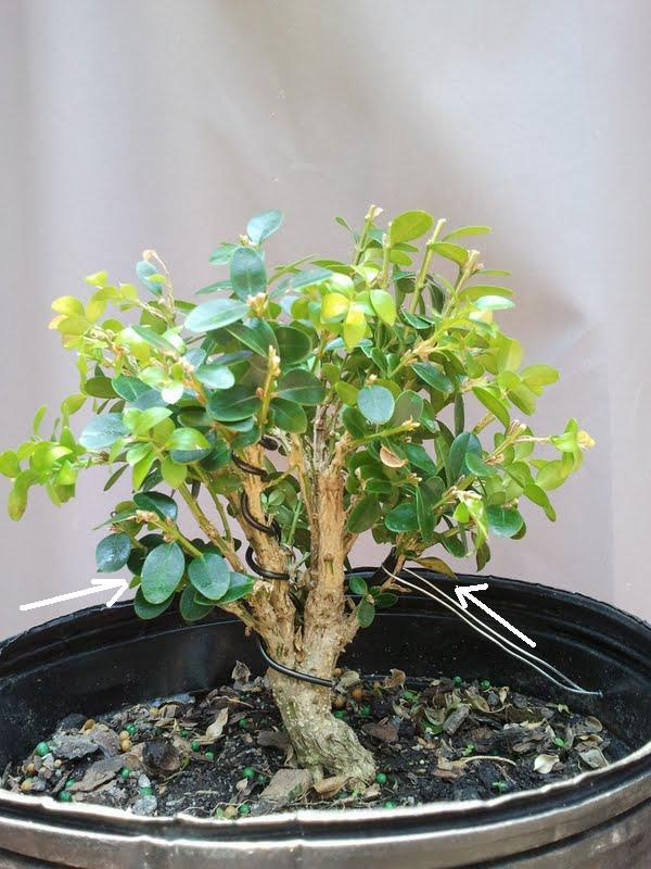 My Wintergreen Boxwood Mail-512d