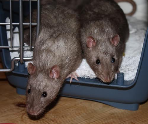 Couleur d'un raton 140209pearlyboys