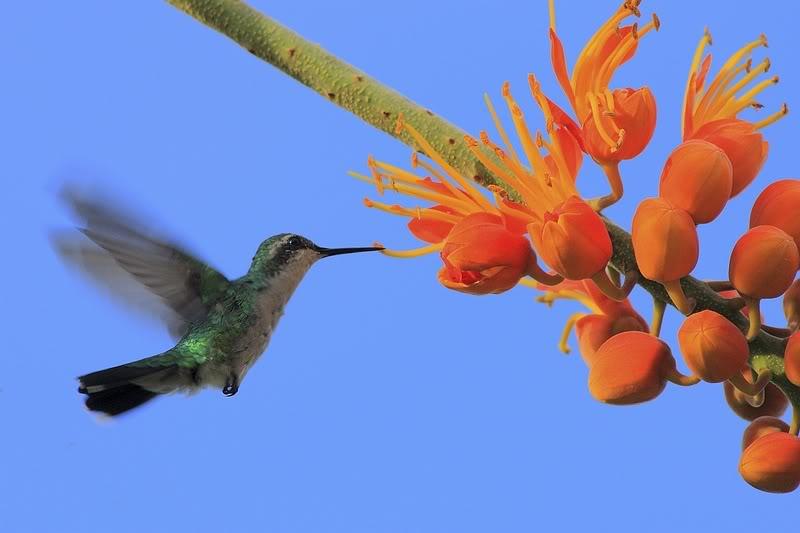 கவலை மறக்கும் காட்சிகள் அழகிய பறவைகள் சில.. Web_GroeneKolibri2