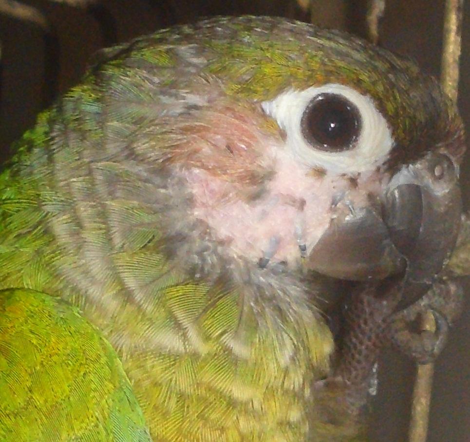 Braonuhi papagaj - Pyrrhura - Page 4 HPIM1949_zps86bc9ebe