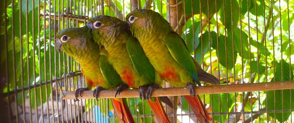 Braonuhi papagaj - Pyrrhura - Page 4 Branouhi_zpsa184dbb7