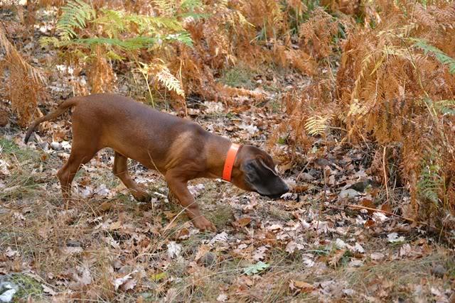 Programa Reservas. Cachorro cedido a la RRC Fuentes Carrionas DSC_1515web