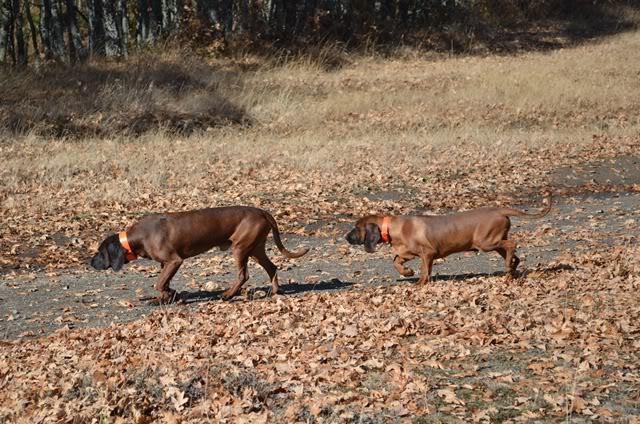Programa Reservas. Cachorro cedido a la RRC Fuentes Carrionas DSC_1560web