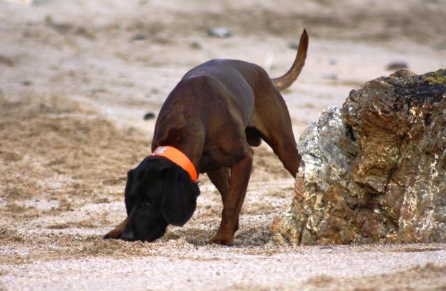 Disfrutando de los perros en la playa S-9