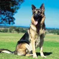 BiohaZardPistols German_shepherd