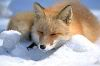 Which avveh? 180px-Vulpes_vulpes_laying_in_snow