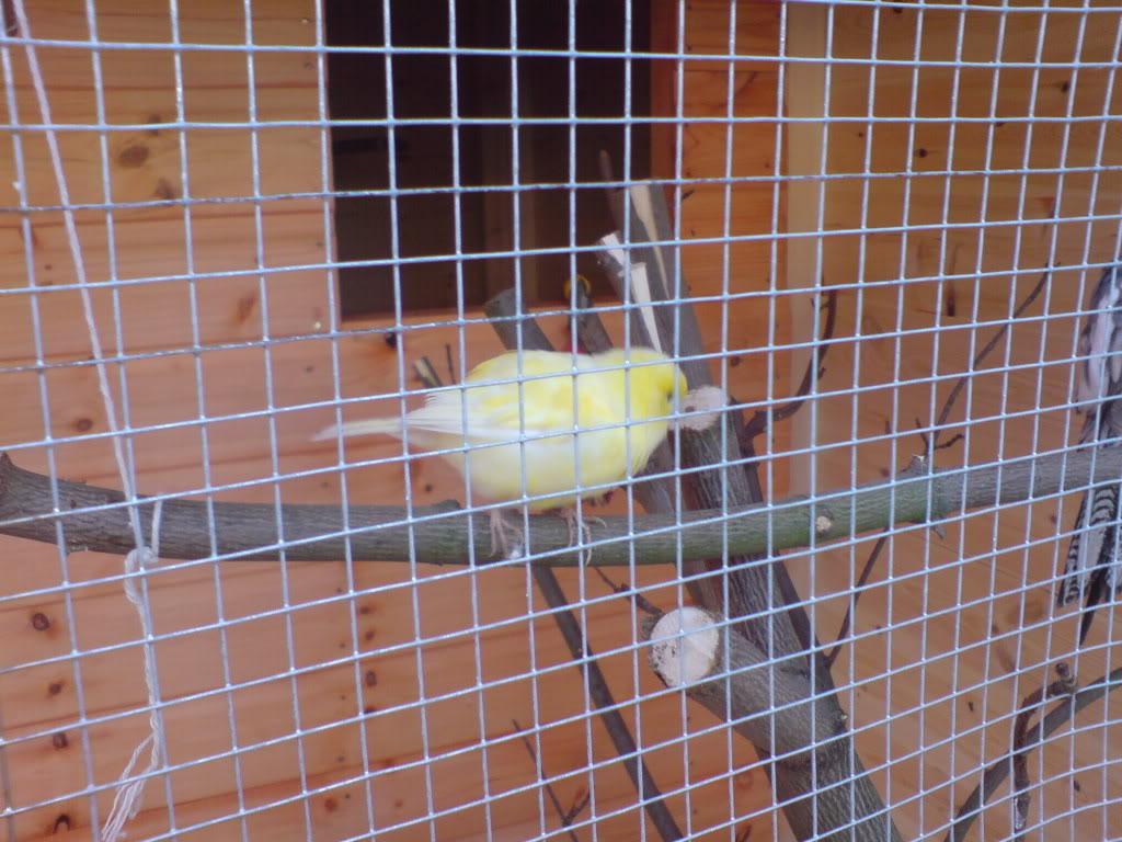 Aviary Canary