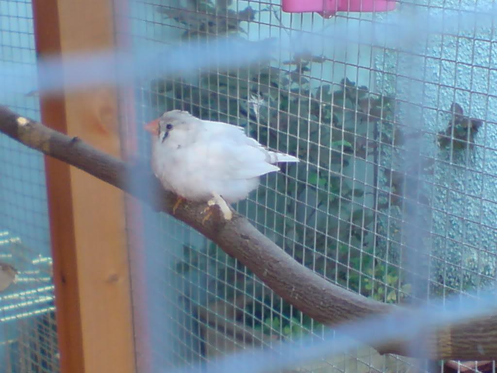 Aviary Finch