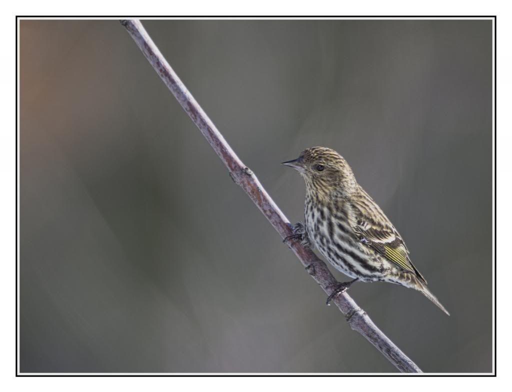 Aide pour deux oiseaux...  Parulines??? _IGP6030to_zps601fc66d