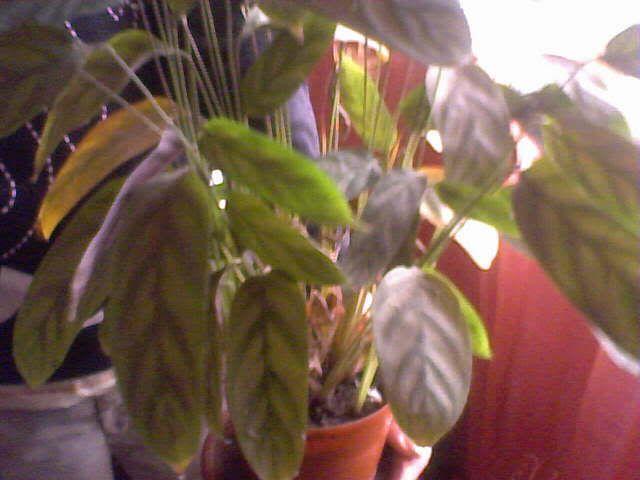 poze cu plantele mele de ghiveci ! - Pagina 4 31-12-07_122156