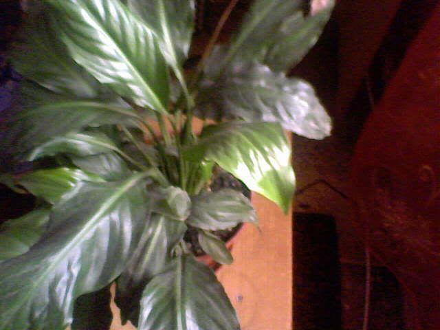 poze cu plantele mele de ghiveci ! - Pagina 4 31-12-07_122220