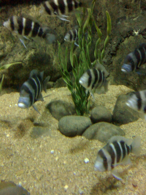 African cichlids at the San Antonio zoo SAzoo3