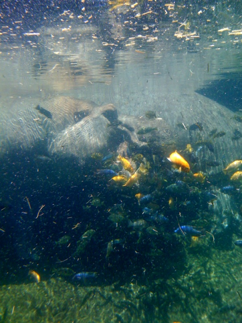African cichlids at the San Antonio zoo SAzoo3hippoteethcleaning