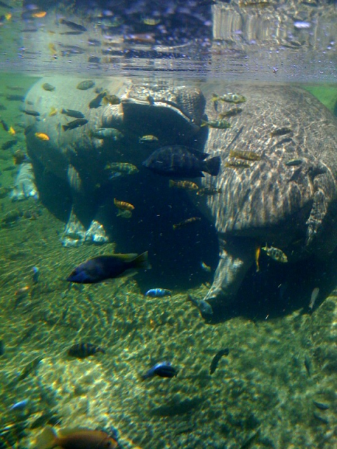 African cichlids at the San Antonio zoo SAzoo4swimminwiththehippos