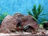 Thysochromis ansogii video Th_fishvideos6-12-11001
