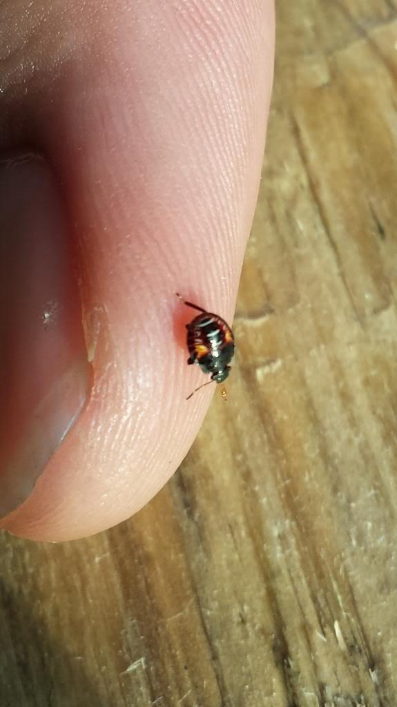 Bug/Pest Identification....Help! - Page 2 20130611_185151