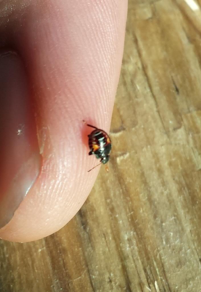 Bug/Pest Identification....Help! - Page 2 20130611_185153