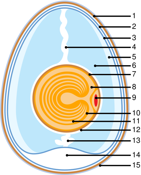 Anatomy Of An Egg 483px-Anatomy_of_an_eggsvg