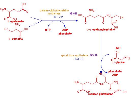 Glutathione - The bodies premiere antioxidant Glutathione_synthesis