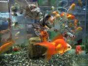 Carassius auratus Archivo-Goldfish