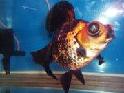 Carassius auratus Archivo-GoldfishDroganeys