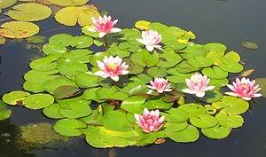 Planta acuática Archivo-Nenufar-rosa