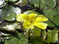 Planta acuática Archivo-NymphoidesPeltata-flower1