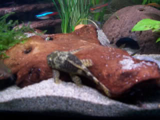 breeding bns,corys & vaious other fish for sale Aacc085