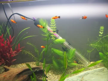 breeding bns,corys & vaious other fish for sale Axx007-Copy