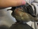 Baby Pigeon Rescued - Lump on chest under right wing! HELP! Th_Bird002