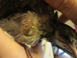 Baby Pigeon Rescued - Lump on chest under right wing! HELP! Th_Bird020