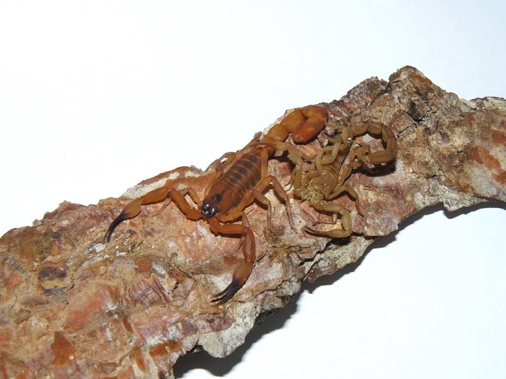 My scorpion collection P1080919