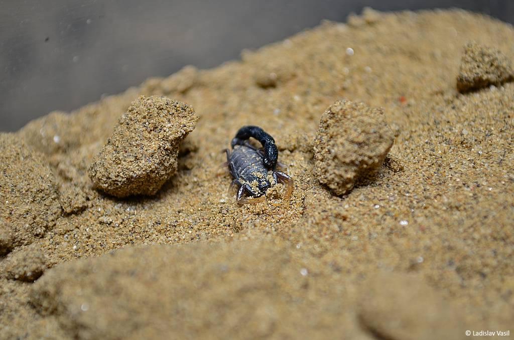 My scorpion collection Innesimale_zps8160566e