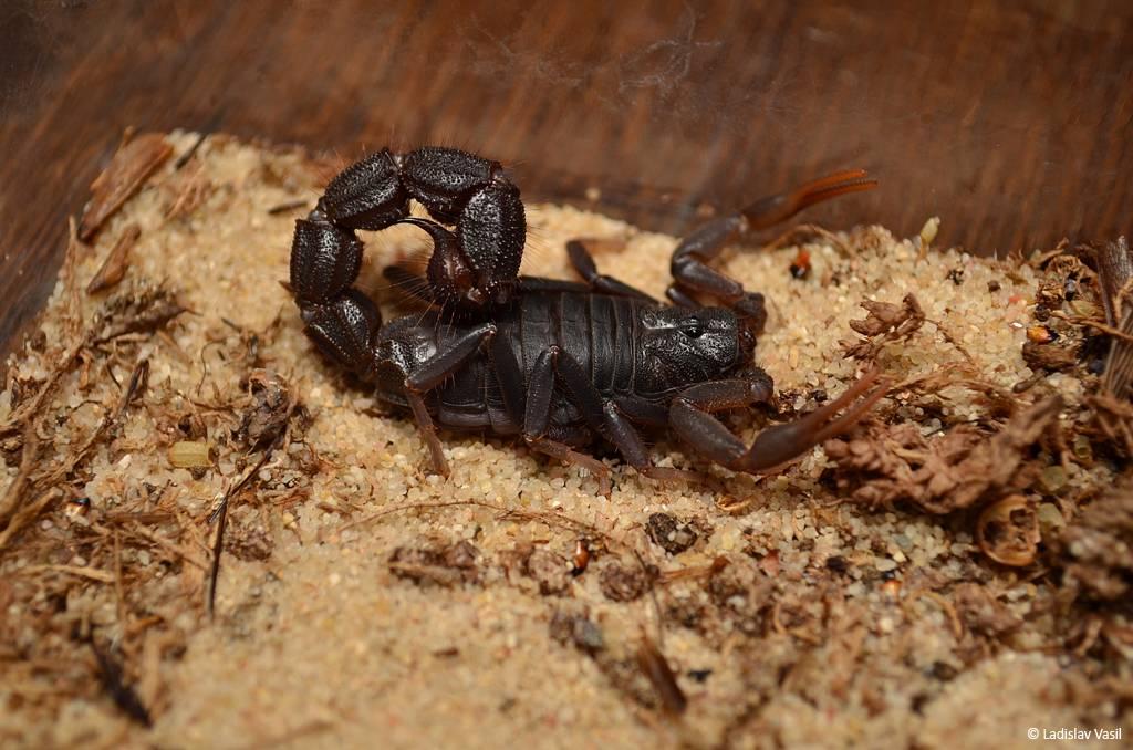 My scorpion collection Transvaalicus10_zpsc941e586