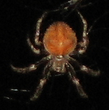 please identify this spider, northern california Borisisscary-1