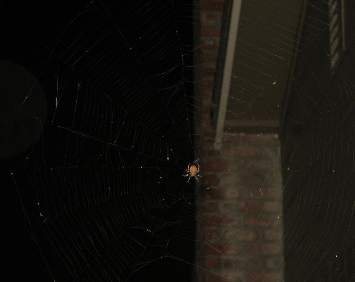 please identify this spider, northern california Boriswah