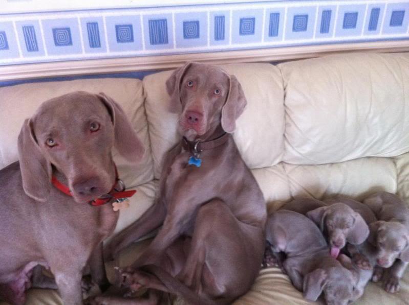weimeraner pups, time to leave home! Aaaaaaaaaaaaaaa1-1