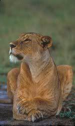 Animal Transfiguration  Lion