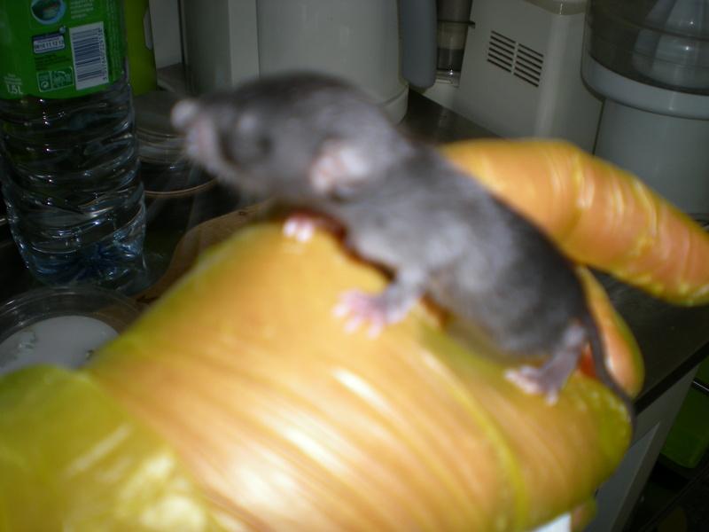 Bébé rattus rattus orphelin  003