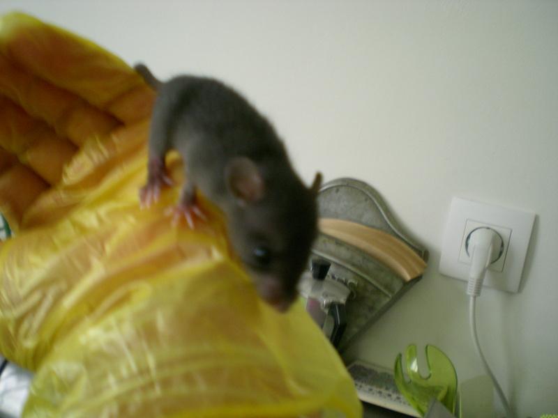 Bébé rattus rattus orphelin  003_1
