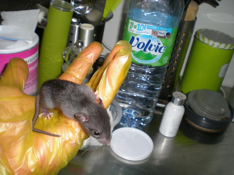 Bébé rattus rattus orphelin  005_1