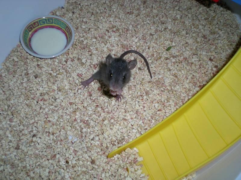 Bébé rattus rattus orphelin  - Page 2 006_2