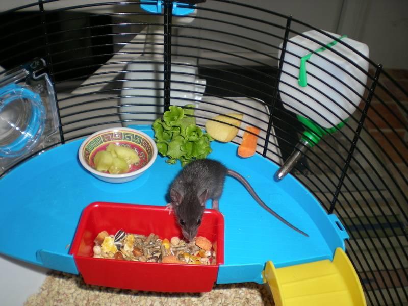 Bébé rattus rattus orphelin  - Page 2 007_2