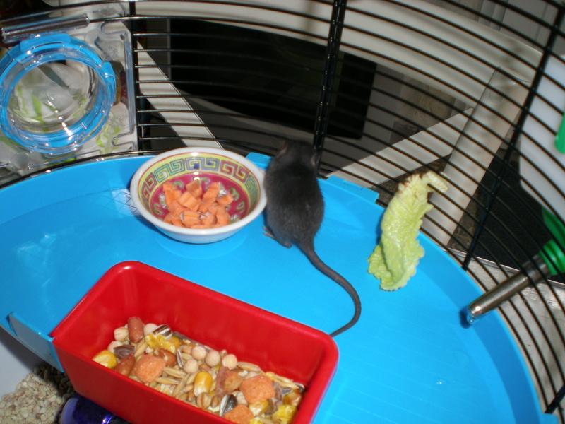 Bébé rattus rattus orphelin  008