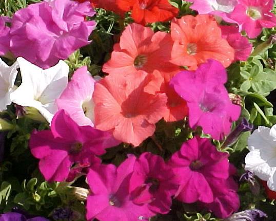 BUSQUEMOS HERMOSAS FLORES - Página 40 Petunias1
