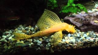 albino sailfin bristle Mqdefault