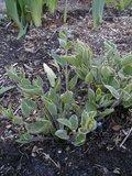 Brunnera macrophylla Th_Brunnera