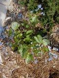 Brunnera macrophylla Th_brunnaeraJack2