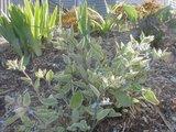 Brunnera macrophylla Th_brunnera5